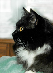 Kitty's Pretty Profile (Shawn's Kitty (Busy Healing!)) Tags: cat kitty tuxedo bestofcats ultimateshot diamondclassphotographer flickrdiamond