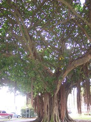 Banyan (chchchacos) Tags: trees roots banyantree