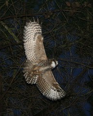 Mighty flying owl