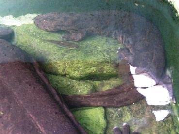 salamandre geante du japon (1)