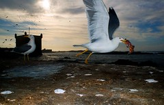 Essaouira (Ketil Blom) Tags: ocean africa sea fish fort seagull morocco 20mm essaouira removedfromnikkorfortags wideanglelenses