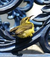 SUNBIRD (Jingle526) Tags: blue macro bird nature yellow avian sunbird helluva impressedbeauty