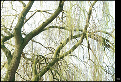 NL/Nature/Spring (oopsfotos.nl) Tags: holland tree green nature netherlands spring branches thenetherlands willow r1 leafs oop willowtree fesh transparancy