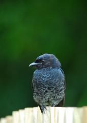 Fork-Tailed Drongo (jeremyhughes) Tags: bird birds southafrica cape knysna tc14eii drongo forktaileddrongo dicrurusadsimilis 300mmf4d