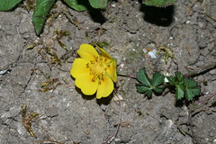 543928985 Creeping_Cinquefoil 2007-06-12_20:20:29 Watlington_Hill