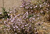 Lessingia leptoclada (debreczeniemoke) Tags: usa unitedstates amerikaiegyesültállamok california westcoastoftheunitedstates yosemitenemzetipark yosemitenationalpark sierranevadahegyvonulatnyugatilejtője acrossthewesternslopesofthesierranevadamountainrange nemzetipark nationalpark cooksmeadowloop növény plant virág flower sierralessingia lessingialeptoclada őszirózsafélék fészkesek asteraceae olympusem5