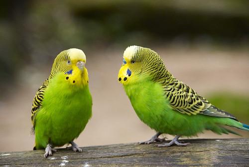 اسباب تاخر طيور البادجي في وضع البيض