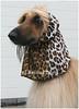 Afghane; Hundeausstellung