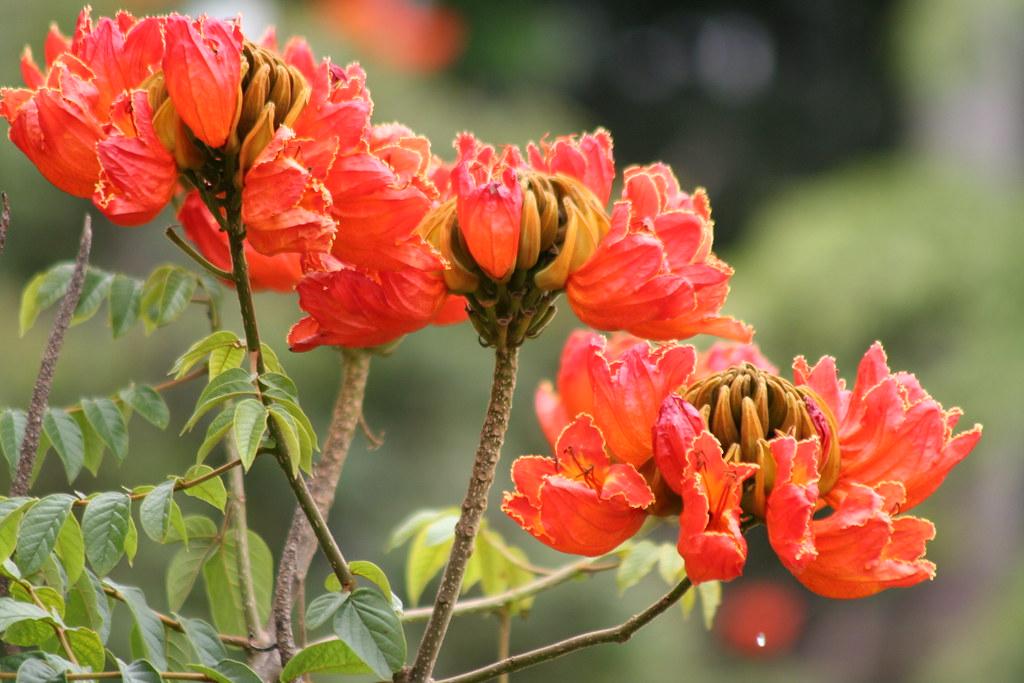 Uma série com Flores da Lanterneira, Tulipa Africana - A series with the African Tulip Tree's Flowers (Spathodea campanulata) 27 179