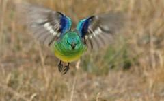 RED-RUMPED PARROT Psephotus haematonotus (beeater) Tags: bird landing parrots australianbirds redrumpedparrot psephotushaematonotus impressedbeauty bibaringa