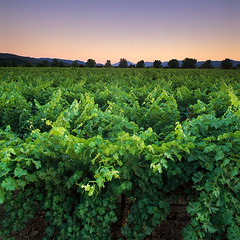 Soon To Be A Fine Wine (Lightchaser) Tags: california eye landscapes vineyards grapes napavalley sunrises winecountry elegance fujivelvia specland sfchronicle96hrs abigfave nv01103 anawesomeshot colorphotoaward winecountrycalifornia favemyfaves theperfectphotographer finestofwine