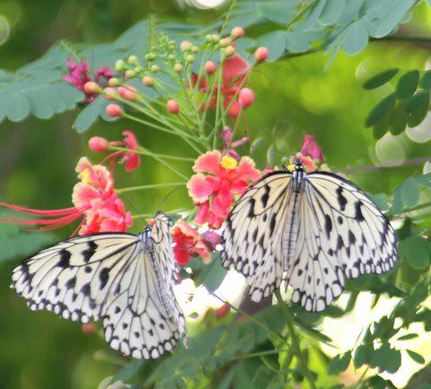 Paper Kite Butterflies, IMG_0858.JPG