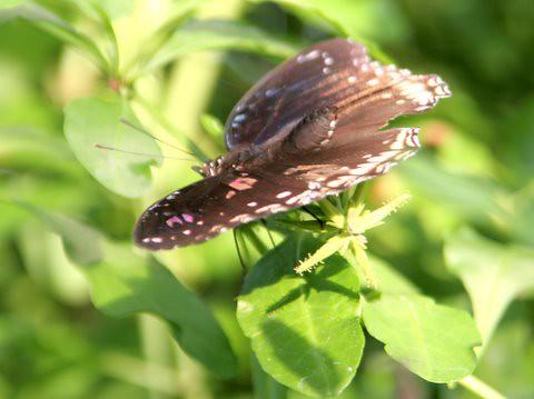 butterfly, IMG_0901.JPG