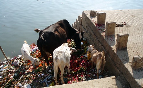 Cow and goat eating flowers on the ganga bank