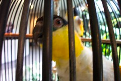 Budgie (ilieattruthordare) Tags: nashville budgerigar budgie cheekwood
