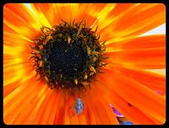 Paseando en el sol - Walking in the sun (jose_miguel) Tags: espaa sun flower macro sol miguel yellow bug spain bravo searchthebest jose flor amarillo morocco maroc marrakech marrakesh marruecos bicho magicdonkey instantfave interestingness22 outstandingshots specnature 25faves marraquech abigfave explore22 bonzag p1f1 panasoniclumixfz50 shieldofexcellence impressedbeauty aplusphoto flickrplatinum
