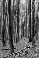 Buchen (*sputnik) Tags: blackwhite nationalpark sputnik rgen schwarzweis 2007 knigsstuhl kreidefelsen jasmund groszicker
