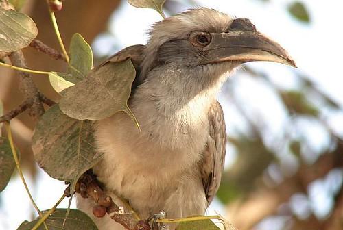 Indian Grey Hornbill!