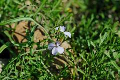 Erucaria hispanica (?) (Bob Reimer) Tags: fieldtrip oman enhg wilayatmahdah afrathe erucariahispanica
