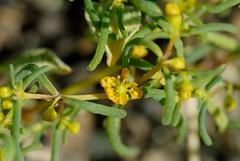 Zygophyllum simplex (Bob Reimer) Tags: fieldtrip oman enhg wilayatmahdah afrathe zygophyllumsimplex
