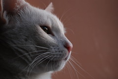 Boris (polandeze) Tags: white tom cat stray manualfocus whitecat tomcat sigma50mmmacro madeit d80 cc100