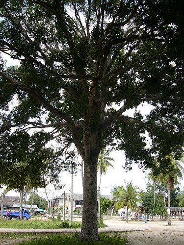 サムイ島‐big mango tree