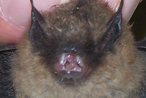 Bat in House_1