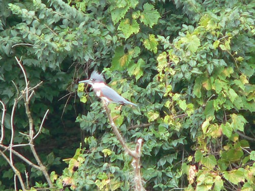 397 Belted Kingfisher 04