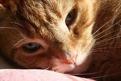 resting (Linda Cronin) Tags: sleeping cat nose ginger interestingness bed peaceful whiskers explore thumbsup twothumbsup gamewinner cc100 challengeyouwinner cyniner bestofcats cy2winner flickrchallengewinner lindacronin motifdchallengewinner photofaceoffwinner a3b pregamewinner