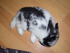 baby bun snoozing (jade_c) Tags: rabbit bunny animal mammal singapore sleep  hollandlop babyrabbit  lagomorph babybunny brokenblack flickr:user=thehiddenburrow