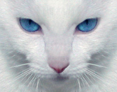 Cat Symmetry (Scott Kinmartin) Tags: pet macro animal cat kitten feline blueeyes symmetry whitecat 1on1pets cat1000 kittysuperstar bestofcats beyondexcellence flickrglam