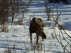 another (akbluesman53) Tags: walk moose