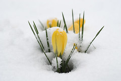Snow Crocus - THIS IMAGE IS NOT FREE ! (niklovegittins) Tags: snow yellow crocus leamington nikonstunninggallery impressedbeauty fiveflickrfavs