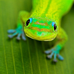 Smile #2 (konaboy) Tags: cute green smile closeup leaf bravo dof gecko madagascar spiderlily 38840c