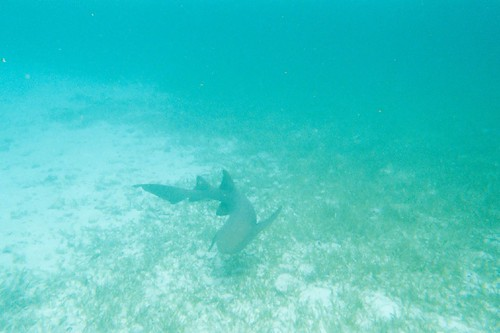 Nurse shark - Belize