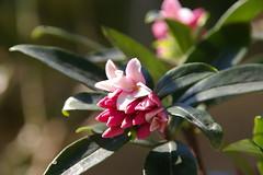 まだ微香のミニイヤリング♪沈丁花