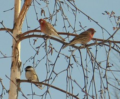 house finches & chickadee