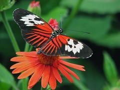 I've landed (melepix) Tags: orange black flower nature butterfly florida powershot tropical daisy s3 mims jesters butterflyworld abw naturesfinest qemd specnature abigfave avision anawesomeshot impressedbeauty superaplus aplusphoto frhwofavs jesterhalloffame natureselegantshots