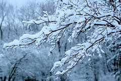 snowy tree before sunrise - by Muffet