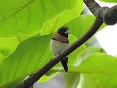 Chestnut-breasted Mannikin (rianklong) Tags: bird nature geotagged polynesia wildlife chestnut tahiti mannikin intercontinental papeete frenchpolynesia canons3 chestnutbreastedmannikin lonchuracastaneothorax chestnutbreasted