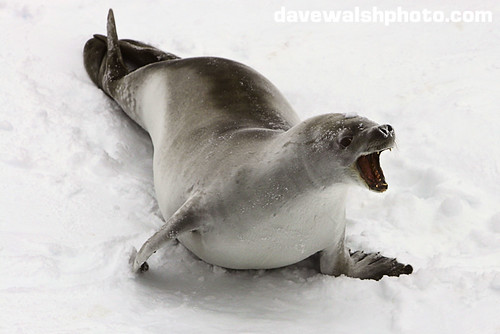 crabeater seal, Lobodon carcinophagus,