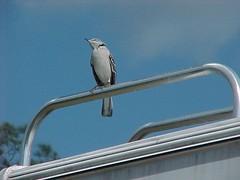bird florida mockingbird