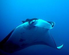 Manta Ray at Similan Island #9