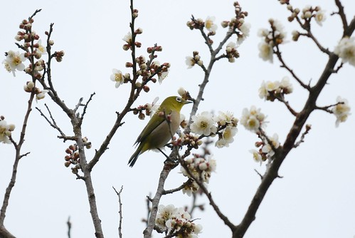 a bird of white-eye #2