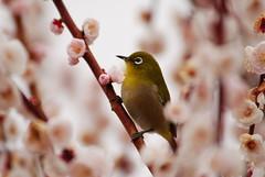 White-eye in  pink clouds (kaycatt*) Tags: pink flowers flower bird birds spring wildlife japanesewhiteeye zosteropsjaponicus plumblossom whiteeye   d80 specanimal abigfave 30faves30comments300views avianexcellence globalvillage2 whiteeye