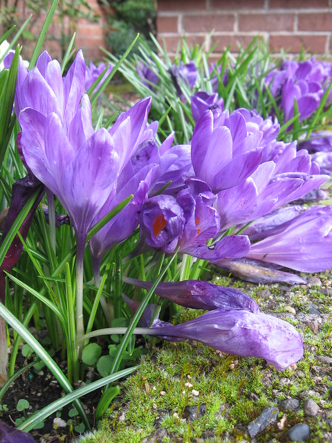 riverplace_crocuses