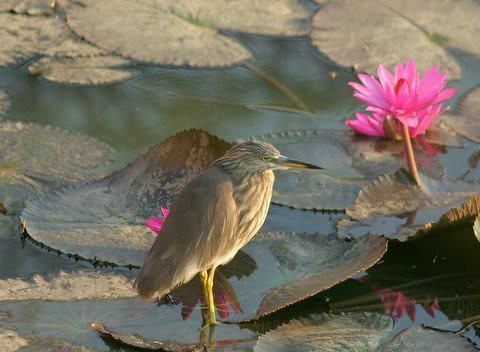 Pond Heron Lalbagh 7 Mar 07