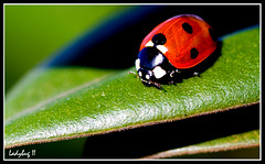 (sismastery) Tags: winter red black macro green insect leaf spring ladybird ladybug tamron tamron90mm