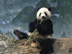 The Little Scamp (RoxandaBear) Tags: show zoo march tai nz nationalzoo endangered hr shan giantpanda pandas 2007 taishan blueribbonwinner butterstick 3707 abigfave impressedbeauty