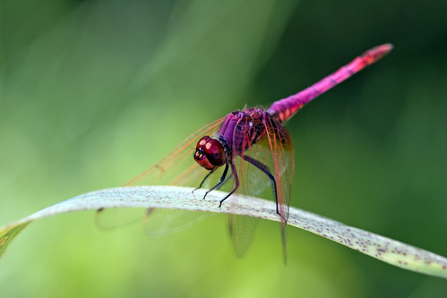 Violet Darter in the Reeds